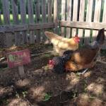 Dusting in the garden.