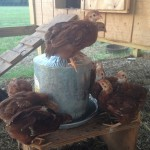 Chicks on watering can