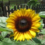 Beautiful sunflower.