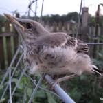 Stubborn baby mockingbird.