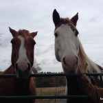 Our sweet neighbor's horses.