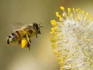 honey-bee-collecting-pollen