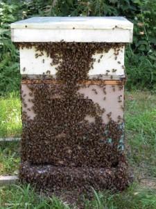 A healthy beekeeper hive.
