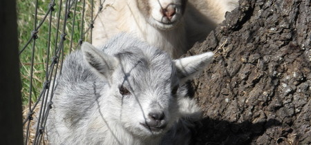 Pygmy Goats are Here!