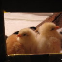New Chicks for the Old Flock